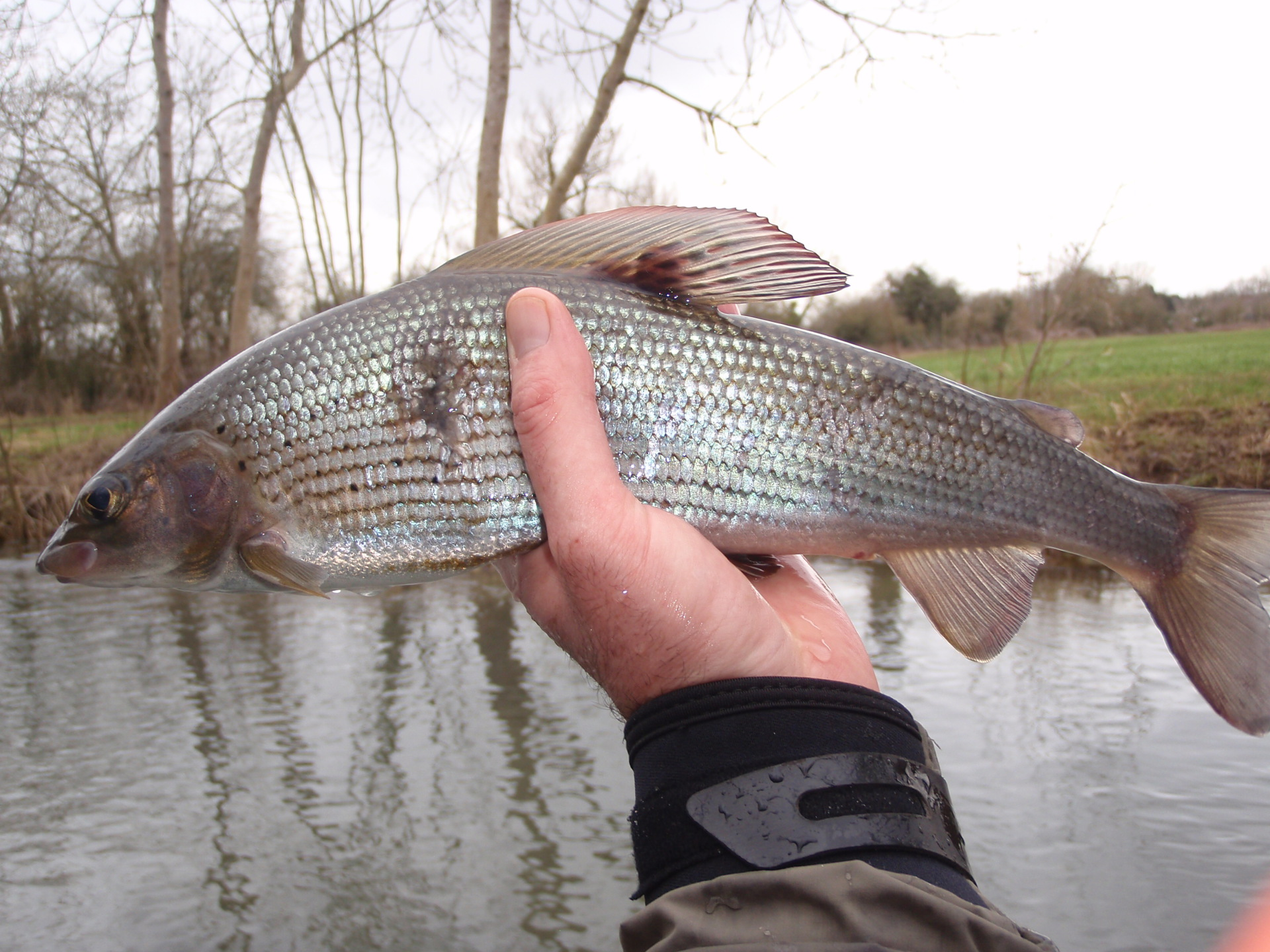 River Coln grayling caught this winter with a Czech nymph